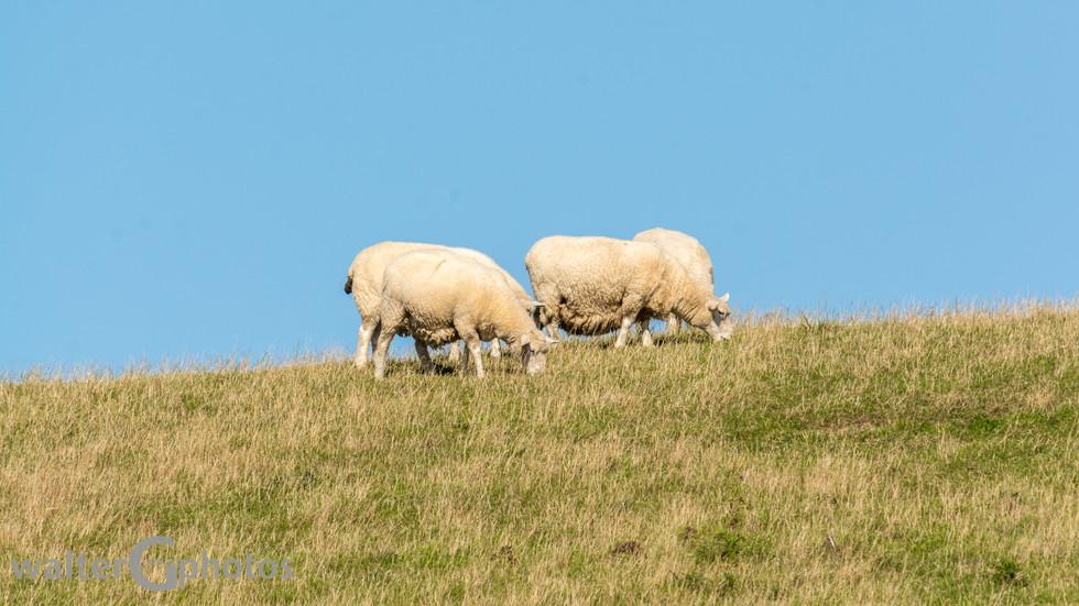 Sheep, SI, New Zealand