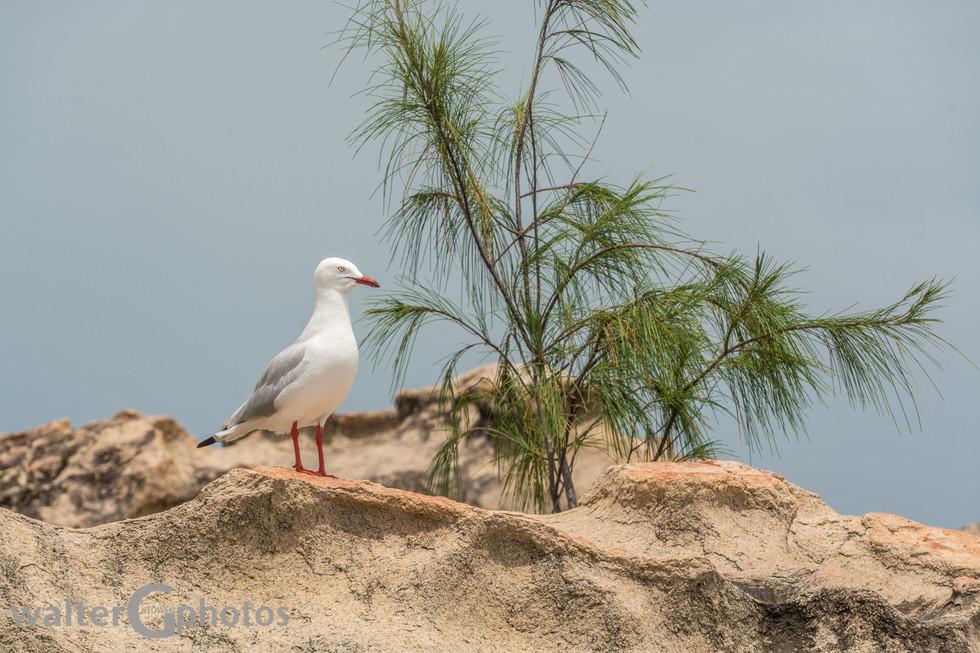 Silver Gull, Bowen
