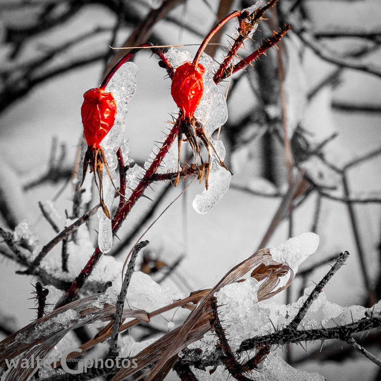 Wintering Rosehips