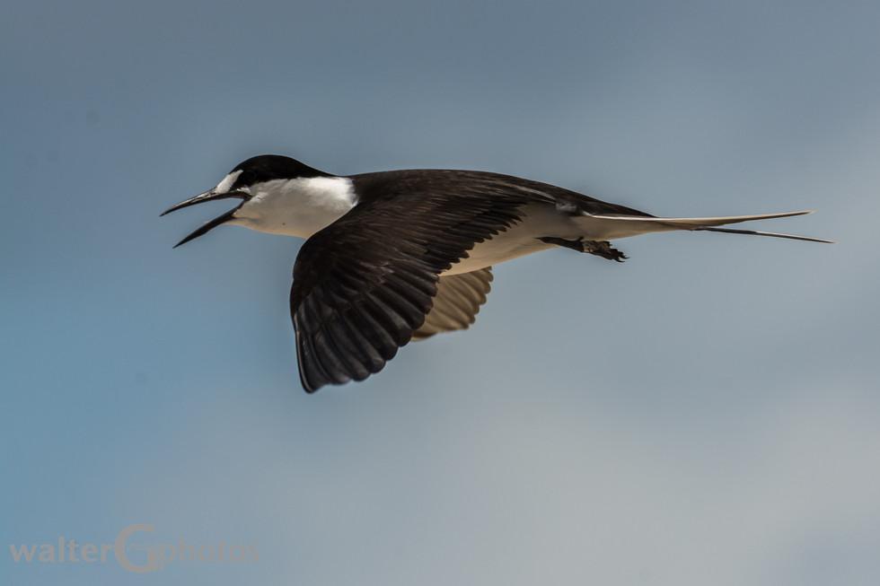 Common Tern, Michaelmas Cay