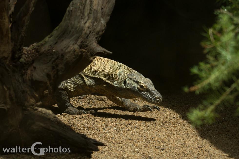 Komodo Dragon, Australia Zoo