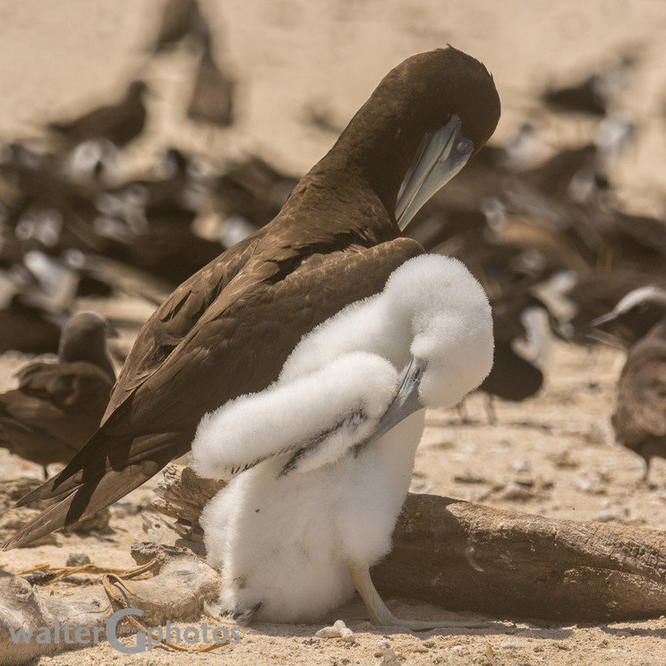 Brown Booby and young, Michaelmas Cay
