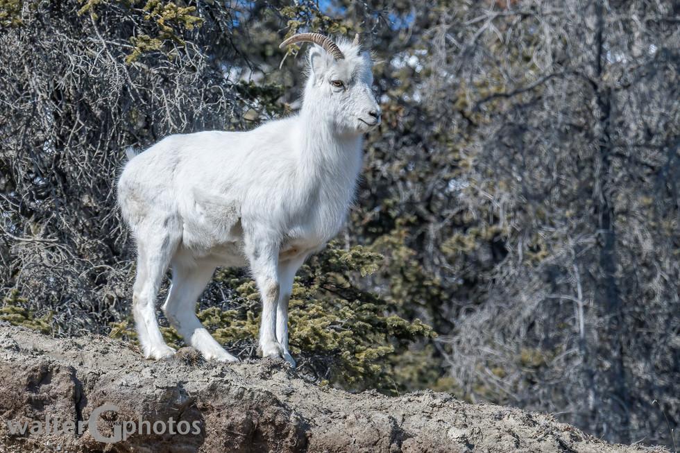 Young Dall Sheep