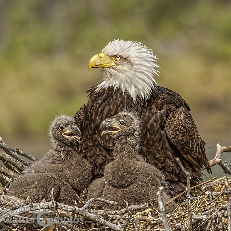 Eagle and eaglets