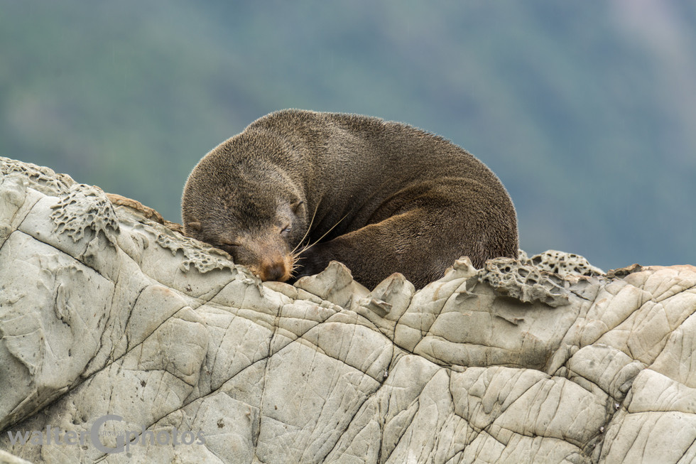 Seal, Paia Point, SI, New Zealand