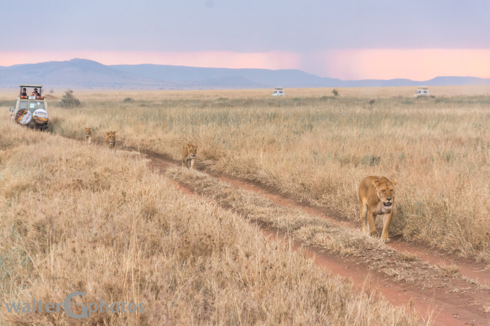 Trail sharing with the lions