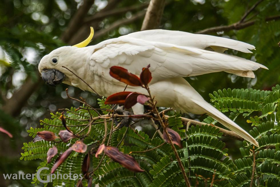 Sulphur-crested Cockatoo, Rockhampton