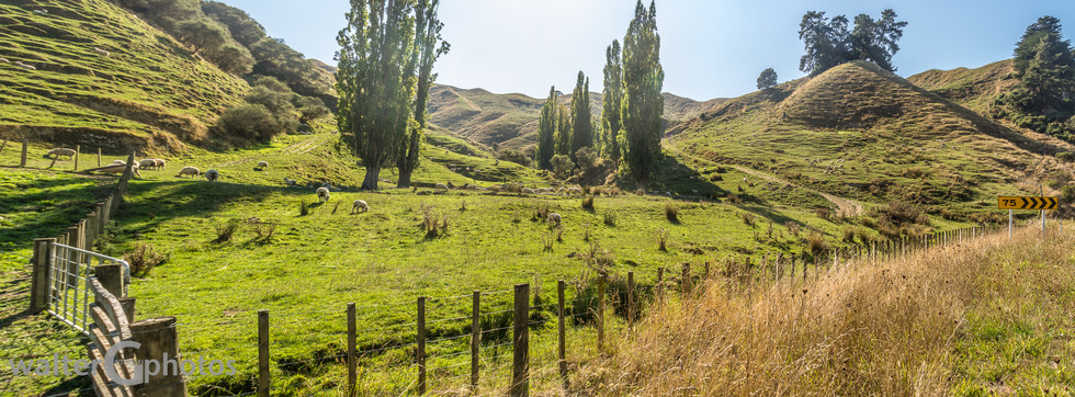 Sheep and Landscape on Parapara Road