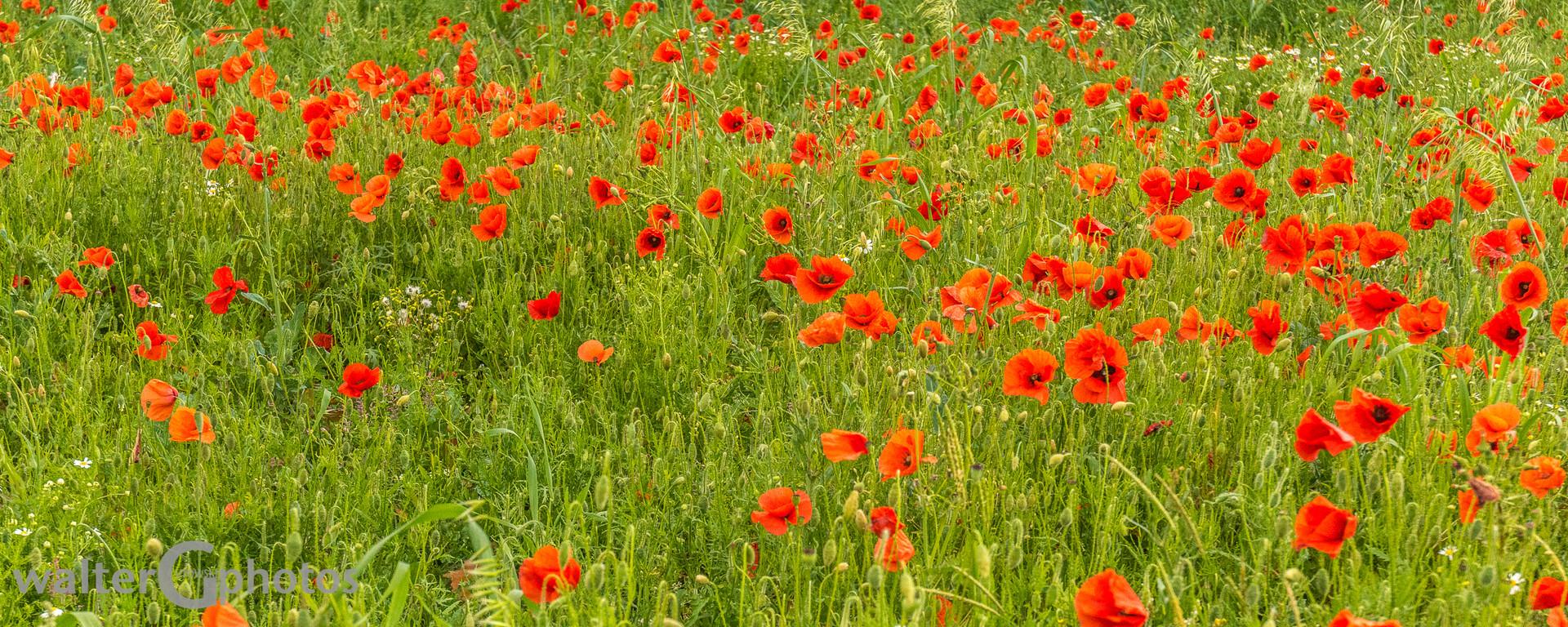 Poppy field, Stonehenge, England