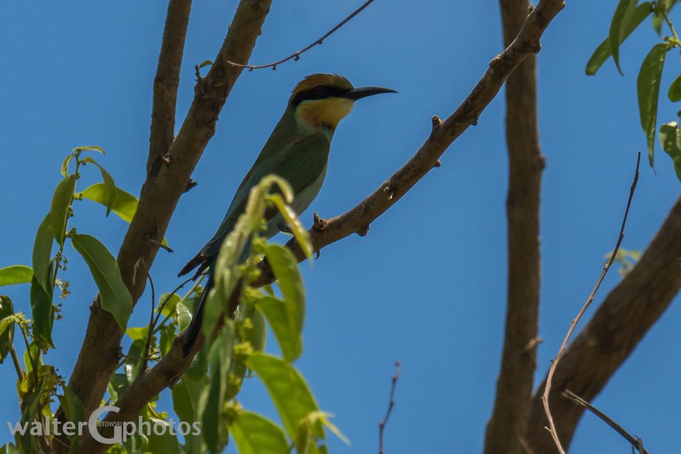 Rainbow Bee-eater, Daintree Rainforest