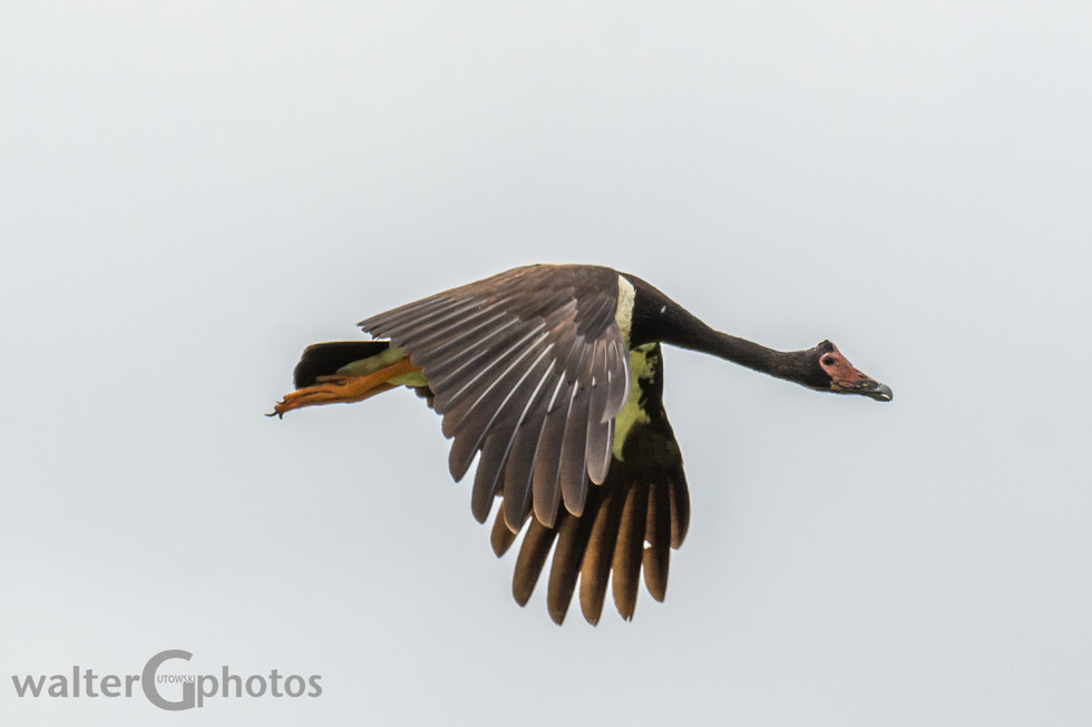 Magpie Goose, Townsville