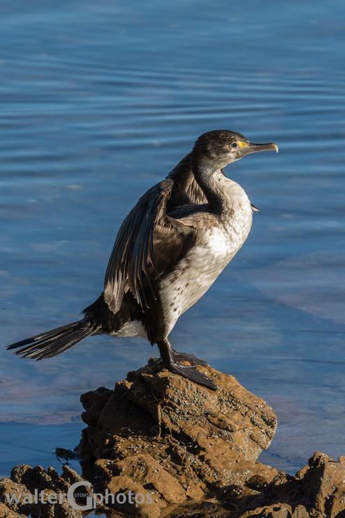 Cormorant, Wellington