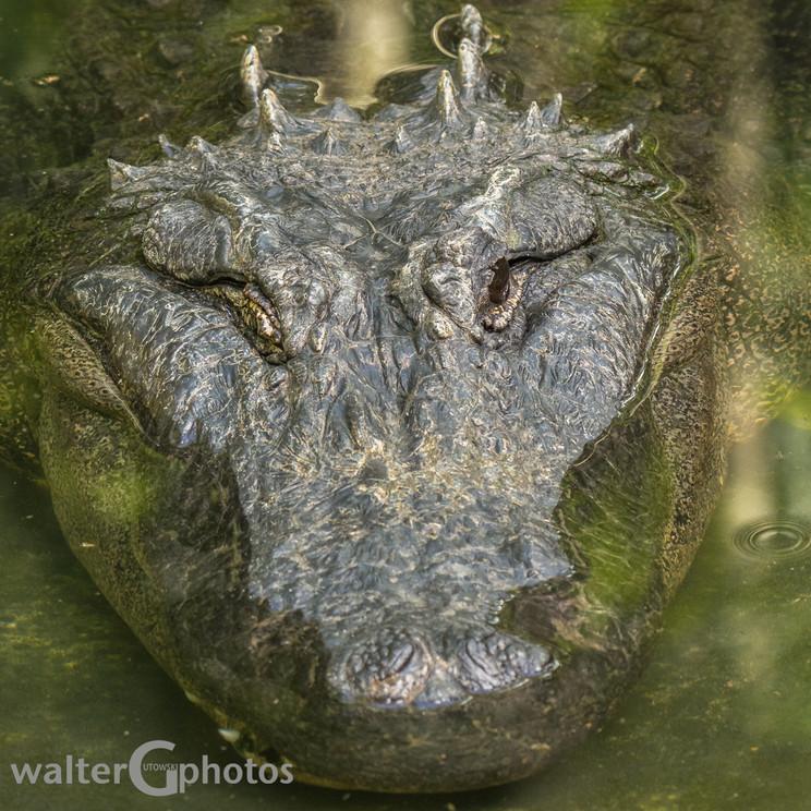 American Alligator, Australia Zoo