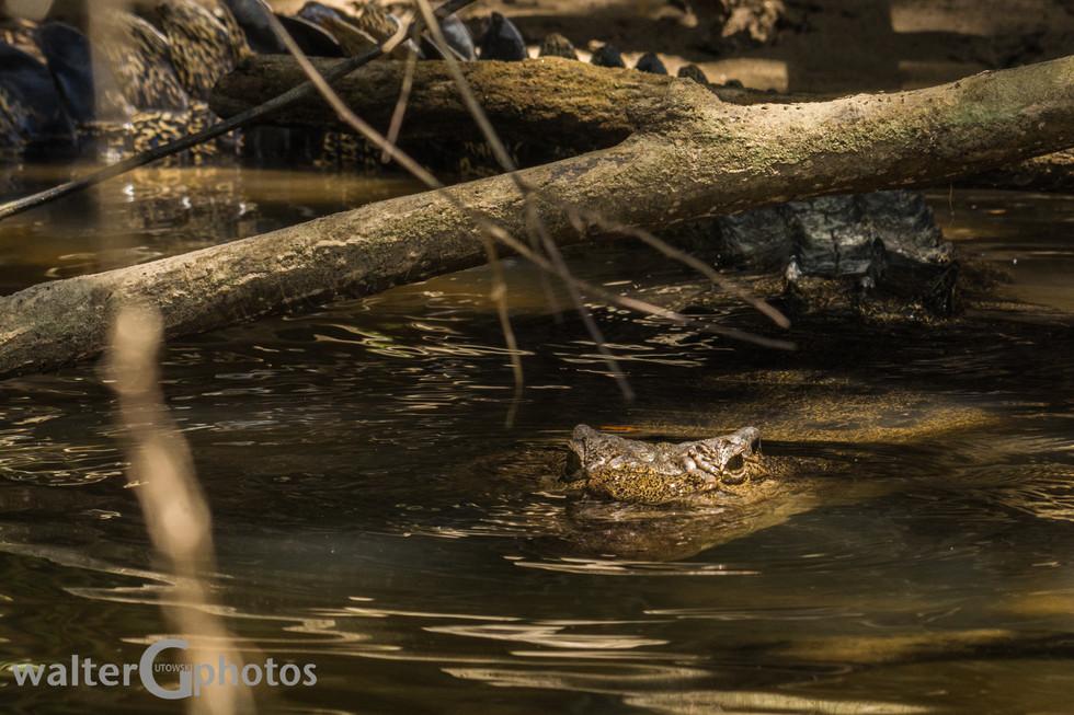 Crocodile, Daintree Rain Forest, Australia