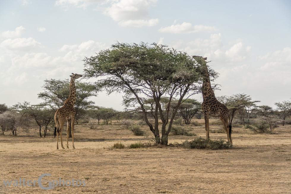 Trimming acacia tree