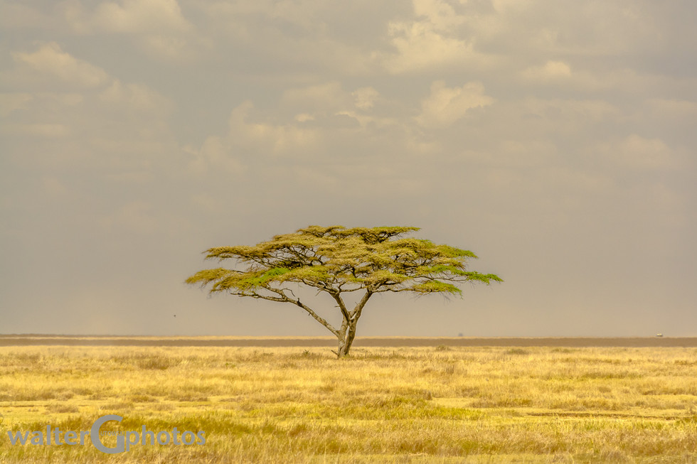 Acacia Landscape