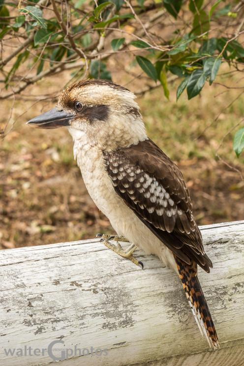 Blue-winged Kookaburra, Boombah Point