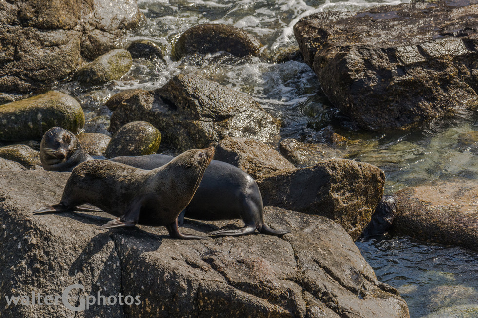 Seals, Cape Foulwind, SI, New Zealand