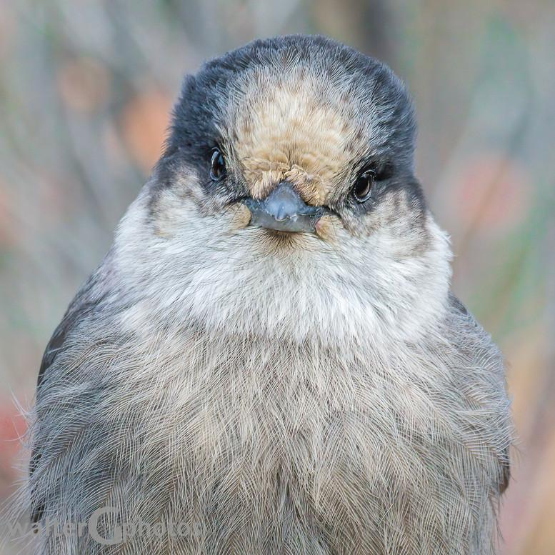 Canada's Gray Jay