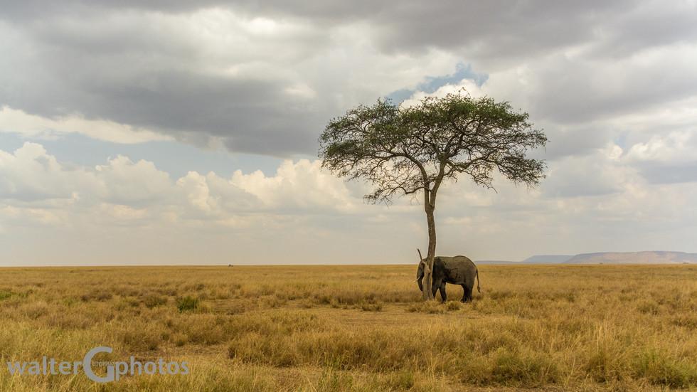 Elephant seeking shade