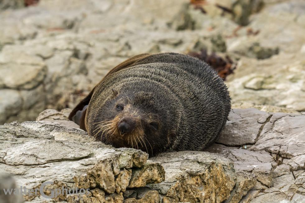 Seal, Kakoura Penisula, SI, New Zealand