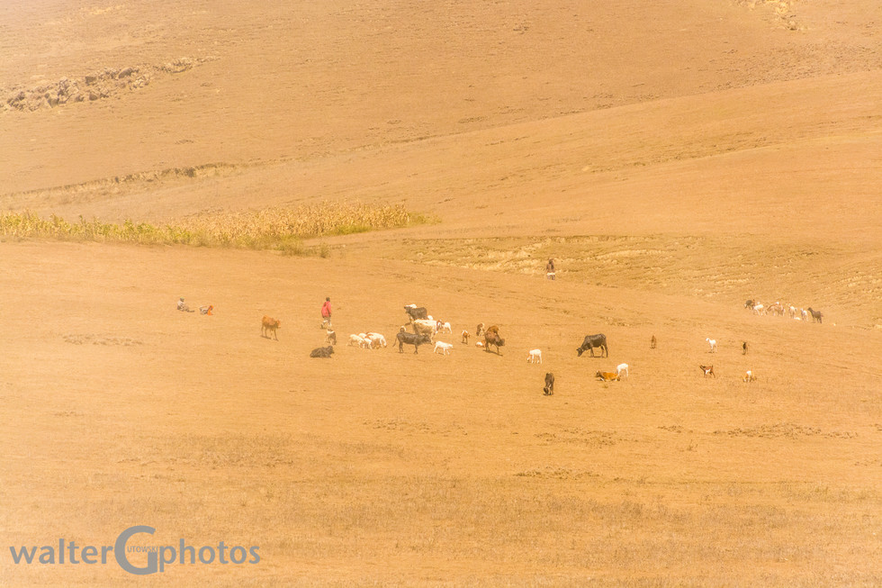 Tending herds