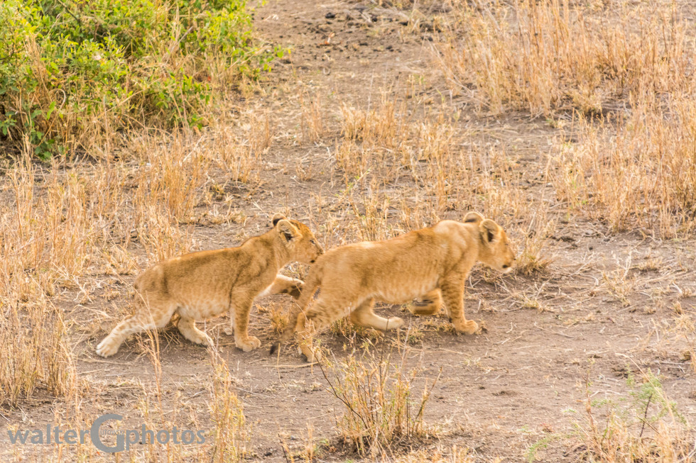 Lion cubs from above