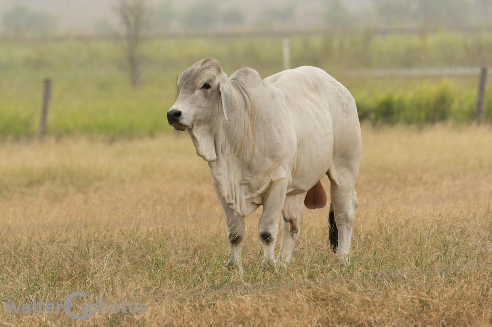 Brahma Bull north of Rockhampton, Australia