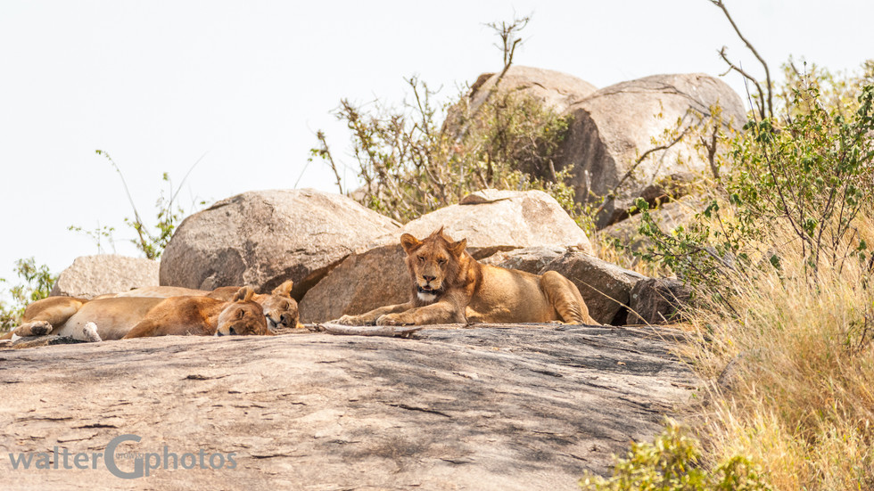 Lions on rock outcrop