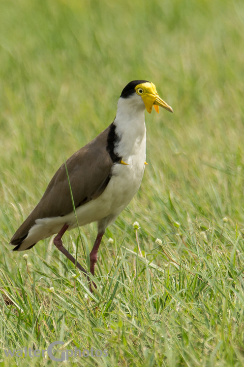 Lapwing, Airlie Beach