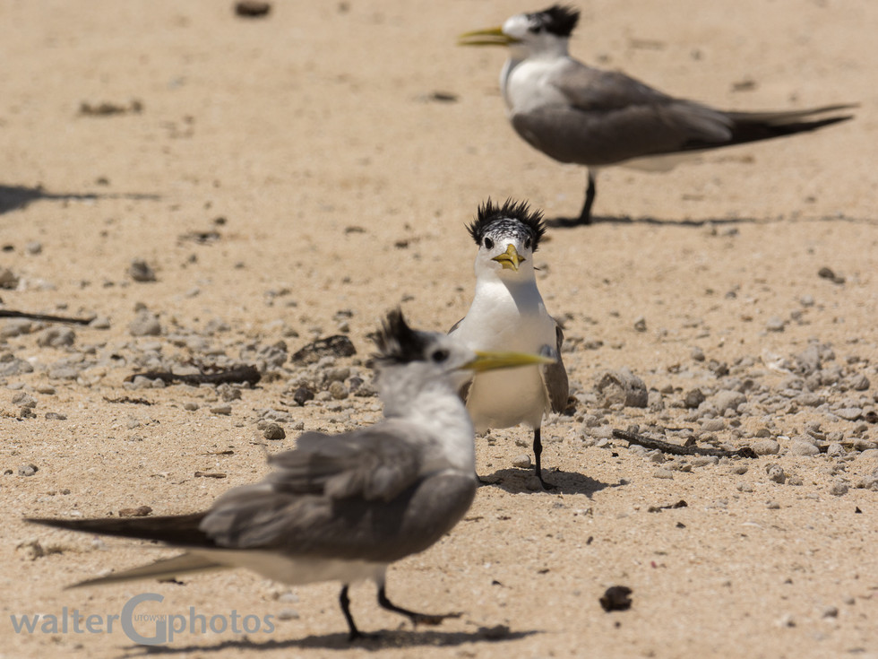 Crested Tern, Michaelmas Cay