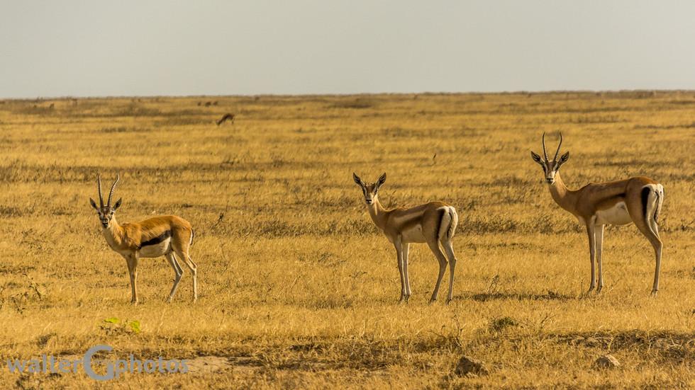 Grant and Thompson gazelles