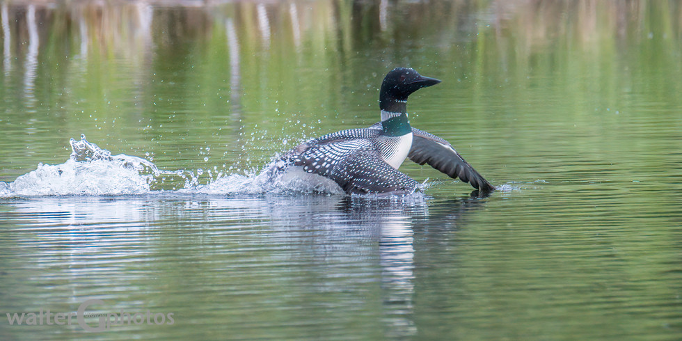 Paddling Common Loon