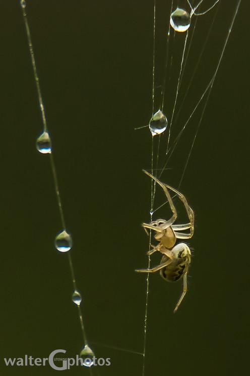Spider, Townsville, Australia