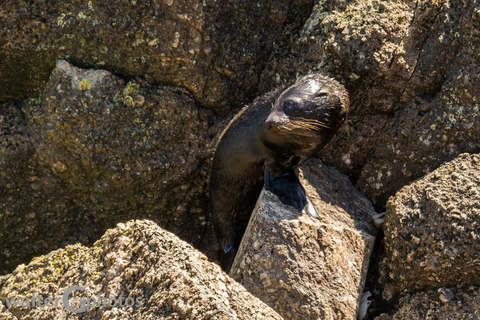 Seal, Cape Foulwind, SI, New Zealand