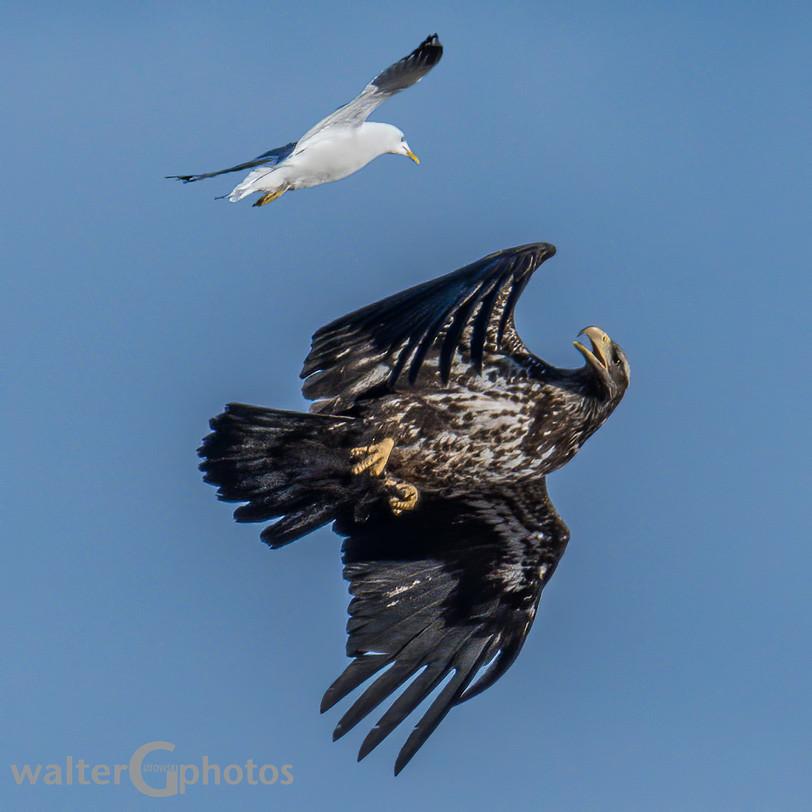 Gull & Eagle