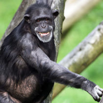 thumbchimpanzee1835_489.jpg