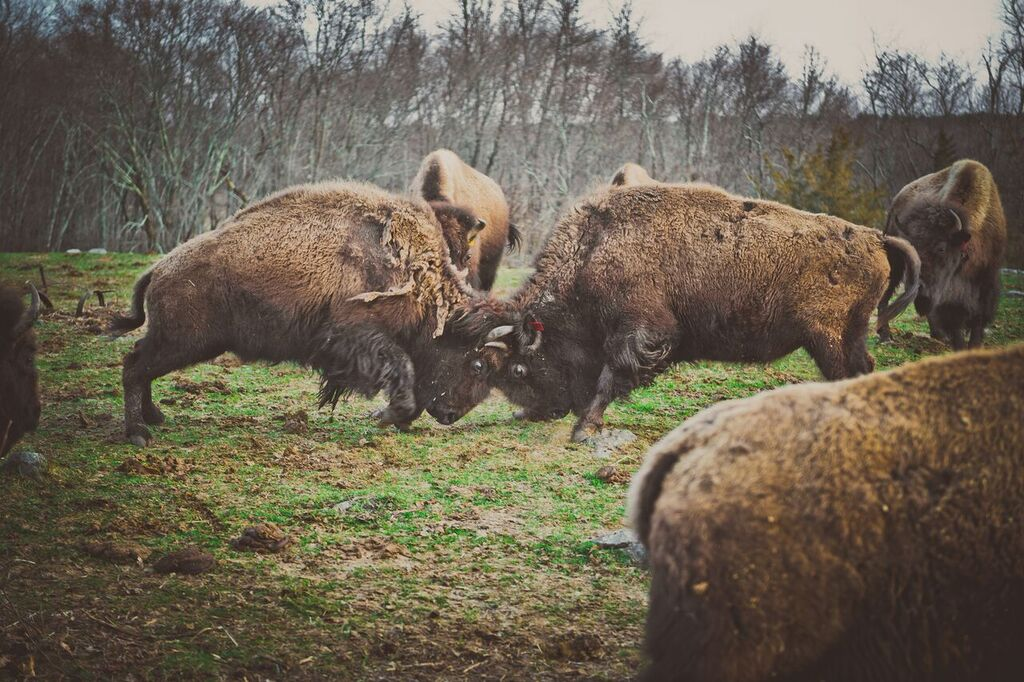 Learn about the history of Bison