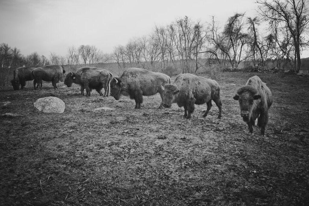 Spring, Summer, Fall Buffalo Tours