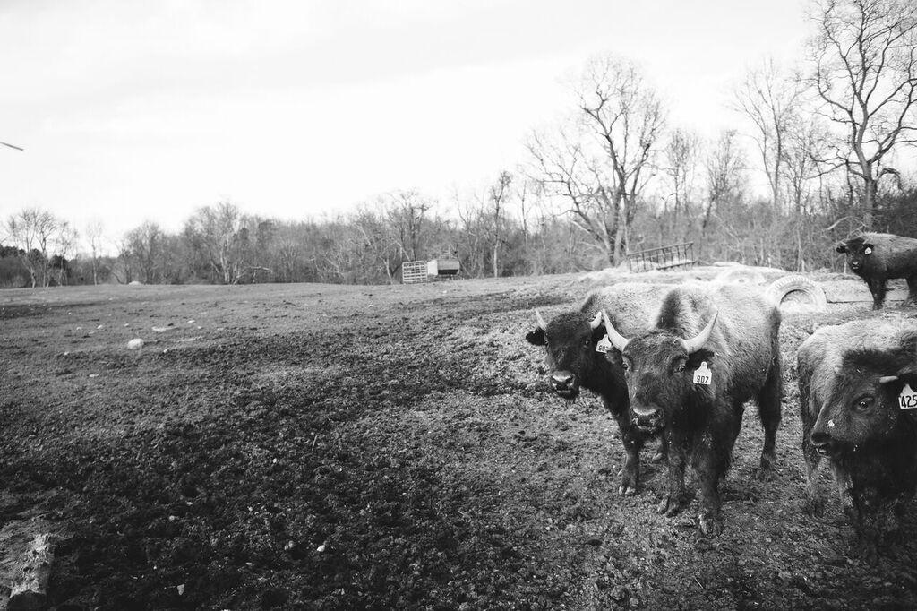 Fresh, local bison