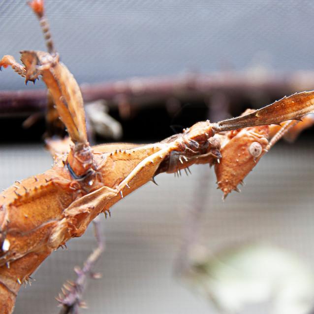 Phasme scorpion