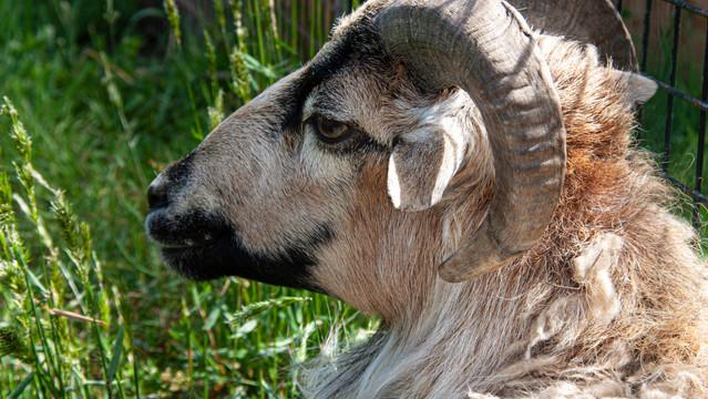 Mouflon du Cameroun