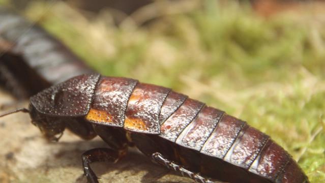 Blatte péteuse de Madagascar