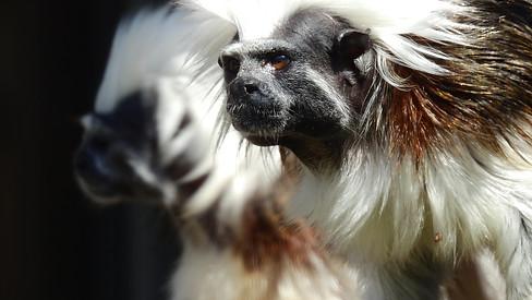 Tamarin pinché à crête blanche