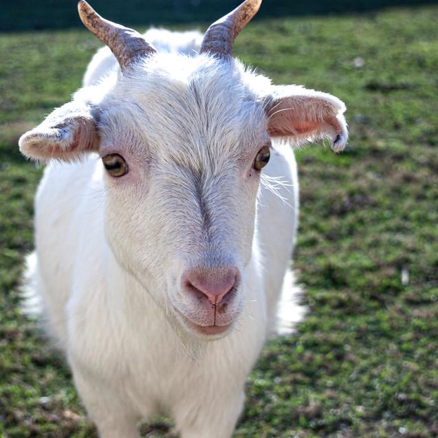 Chèvre naine