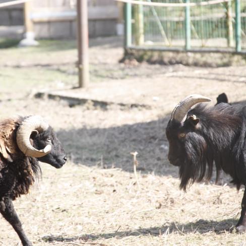 mouton ouessant et bouc nain
