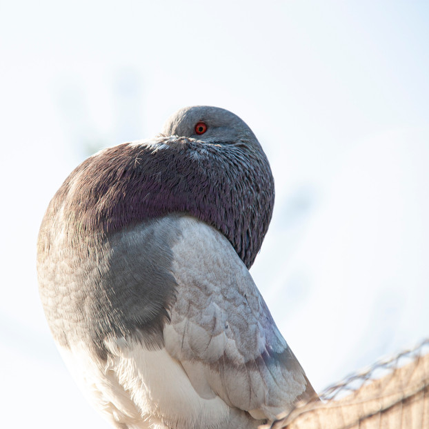 Pigeon boulant
