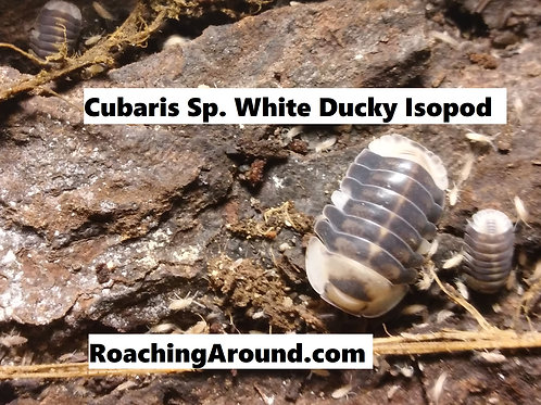 5ct White Ducky Isopods (Cubaris Sp)