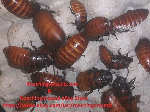 60ct Madagascar Hissing Roaches (Gromphadorhina Portentosa)