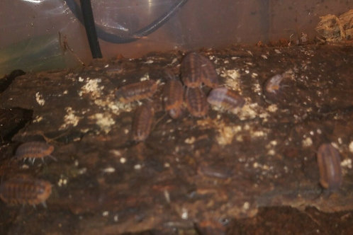 6ct Red Tiger Isopods (Cubaris Sp)